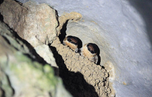 Cave_swallow