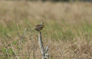 Eastern_meadowlark