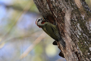 Ecuban_green_woodpecker
