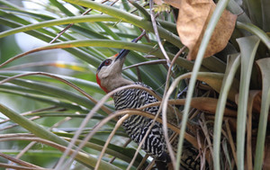 West_indian_woodpecker