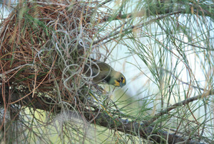 Yellowfaced_grassquit