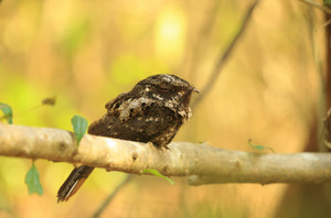 Ecuban_nightjar