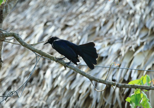Greater_antillean_grackle
