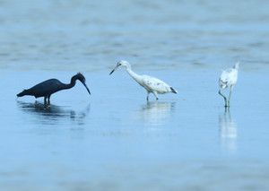 Little_blueheron