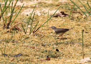 Louisiana_waterthrush