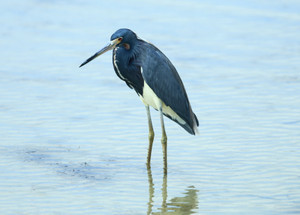 Tricolored_heron