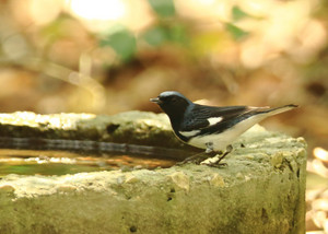 Blackthroated_blue_warbler_2