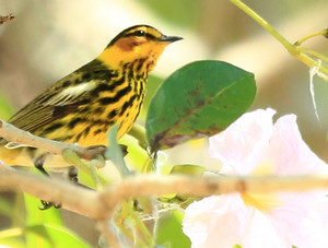 Cape_may_warbler_2