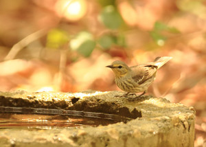 Cape_may_warbler_3