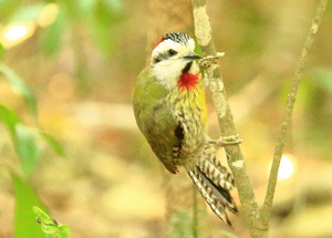 Ecuban_green_woodpecker_3