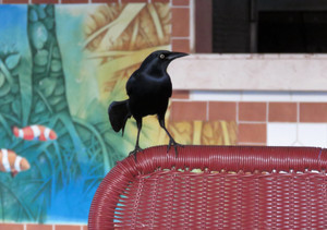 Greater_antillean_grackle_2