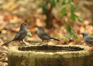 Grey_catbird_redlegged_thrush_1_2