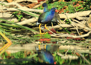 Purple_gallinule_2