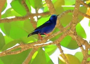 Redlegged_honeycreeper_23