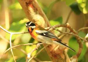 Stripeheaded_tanager_2