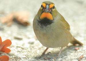 Yellowfaced_grassquit_2