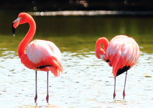 American_flamingo_1