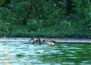 Bluewinged_teal