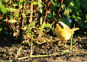 Common_yellowthroat_2