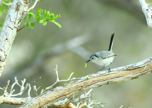 Ecuban_gnatcatcher_2