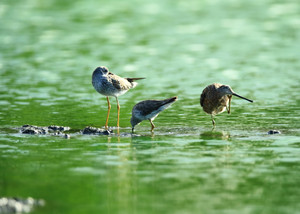 Lesser_yellowlegsspotted_sandpipers
