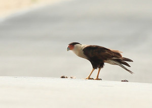 Northern_crested_caracara_1