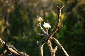 White_ibis_immature